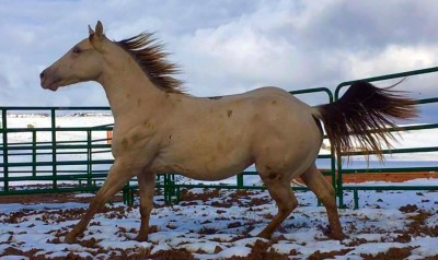 AQHA Rooster on the Rocks ~ 18mos