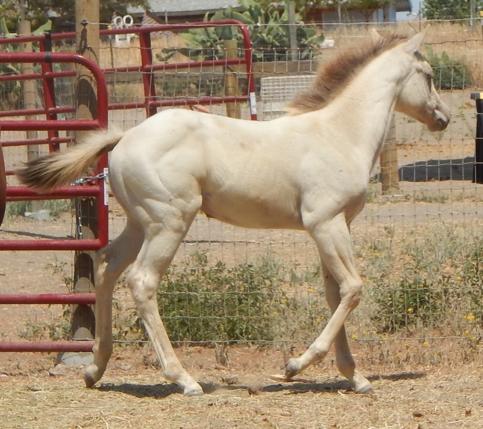 AQHA Frosty Frappuccino
