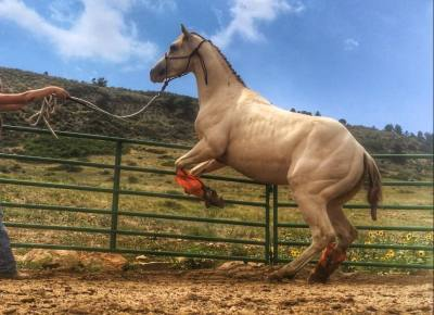 AQHA Rooster on the Rocks ~ 2yrs